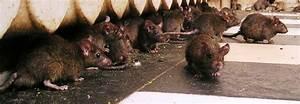 Wie Vertreibt Man Ratten : rattenplage in weiden stadt schaltet spezialfirma ein oberpfalzecho ~ Eleganceandgraceweddings.com Haus und Dekorationen
