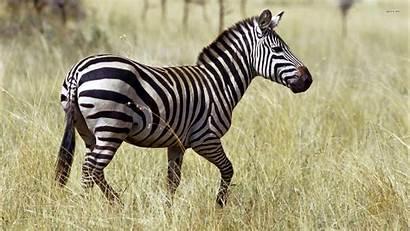 Zebra Wallpapers 1080p Themes Animal Desktop 1080