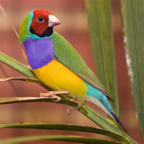 bird colors gouldian finch