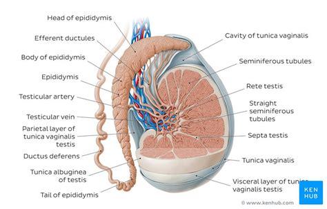 epididymis anatomy  histology kenhub