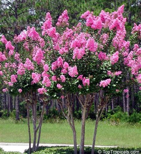 best small flowering trees 135 best images about tree s for ohio on pinterest trees crepe myrtle trees and dogwood trees