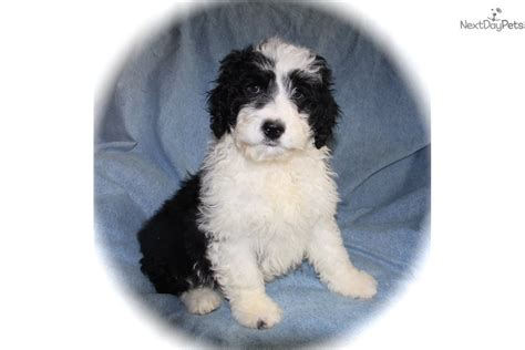 cooper portuguese water dog puppy  sale  dallas