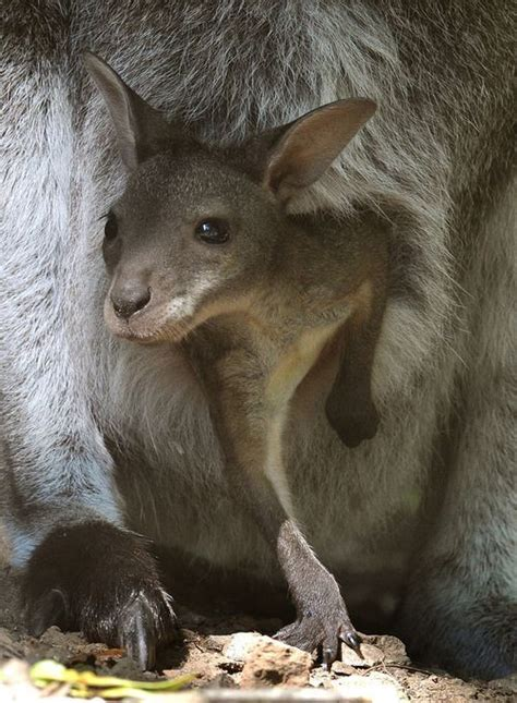baby kangaroo pouch young animals august mother kangaroos its animal zoo hanover looks germany afp hollemann holger joey nature canguro