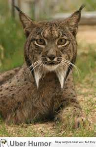 Cute Endangered Animals Lynx