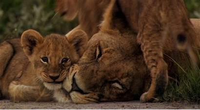 Cubs Lions Lion Lioness Mother Last Desktop