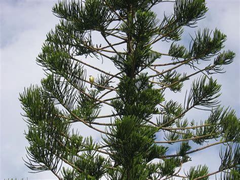 Arbre, Pin, Nature, Evergreen, Conifère