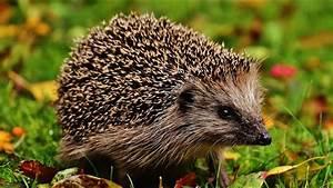 Bilder Von Igel : where to see hedgehogs in the uk wild britain youtube ~ Orissabook.com Haus und Dekorationen