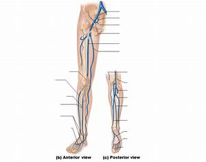 Veins Of The Right Lower Limb