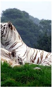 White Tiger Wallpapers Widescreen - Wallpaper Cave
