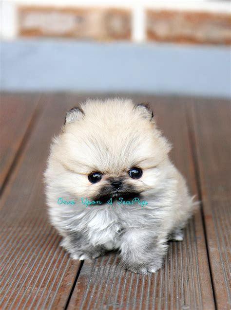 onceuponateapupcom  handles  teacup puppy sales