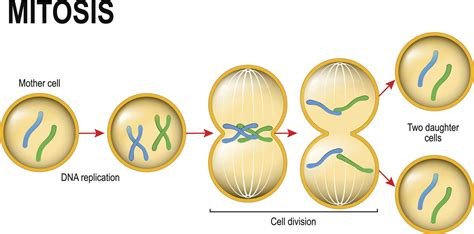 A Study Of The Basic Difference Between Mitosis And Meiosis