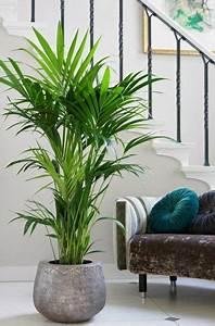 Palmen Für Die Wohnung : kentia palme pflanzen pinterest wohnzimmer wohnzimmer pflanzen und pflanzen ~ Markanthonyermac.com Haus und Dekorationen