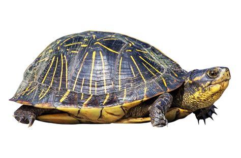 Turtle Images Turtle Png Transparent Image Pngpix