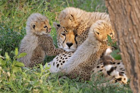 fotoserie junge geparde spielen und schmusen schoepfung