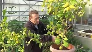 Planter Un Citronnier : chaine tv de jardinage chlorose du citronnier feuilles ~ Melissatoandfro.com Idées de Décoration