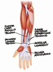Diagram Of Tendons In Forearm