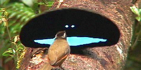 paradiesvogel produziert das schwaerzeste schwarz des