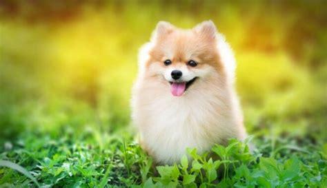 Ja esi mīluļa meklējumos: piemērotākās suņu šķirnes ...