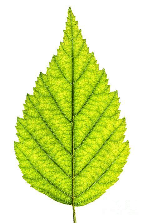 leaf tree green tree leaf photograph art pinterest tree leaves and leaves