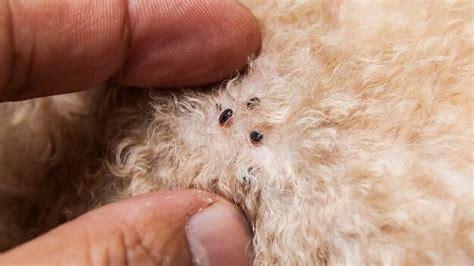 Flöhe Beim Hund Erkennen Und Bekämpfen Tiergesundde