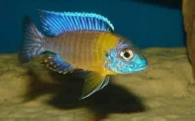 Blue Neon Peacock – Aulonocara Stuartgranti Hai Reef