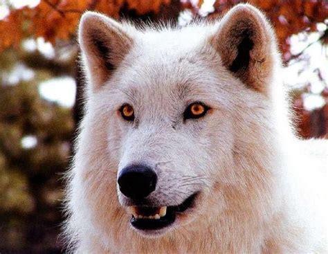 White Wolf with Orange Eyes