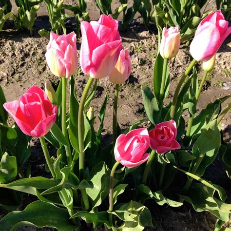 wshg net flowering bulbs and corms featured