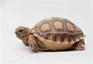 African Sulcata Tortoise Pet