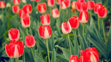 wallpaper tulips spring  flowers