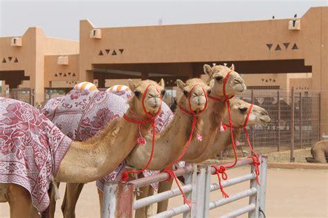 al ain camel places visit market uae famous souk tour souq guide abu dhabi lover culture trover