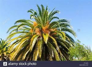 Kanarische Dattelpalme Kaufen : kanarische dattelpalme phoenix canariensis canowindra ~ Lizthompson.info Haus und Dekorationen