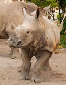 Rhino | Animals | Bali Safari Park
