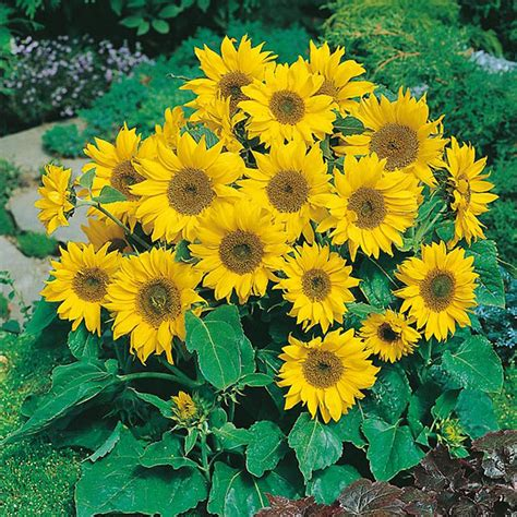 jual bibit bunga matahari mini benihbiji sunflower