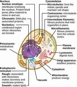 Animal Cells: Despite their fundamental similarities ...