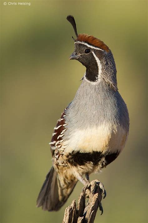 a male gambel s quail watches for predators while his