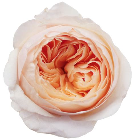Juliet Garden Rose Peach Looks Great With Grey And