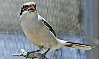 Endangered Birds North America