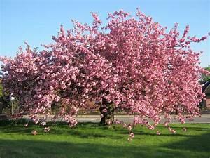 Rosa Blüten Baum : kirschbl te baum wiese kostenloses foto auf pixabay ~ Yasmunasinghe.com Haus und Dekorationen