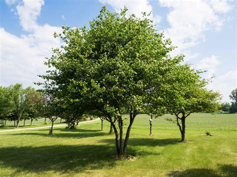 hawthorn tree washington hawthorn information tips for growing a washington hawthorn tree