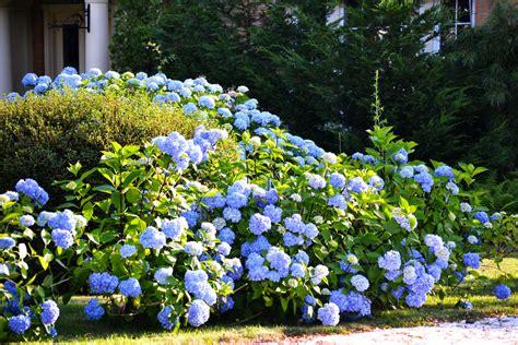 arbustes à fleurs arbuste 224 fleurs bleues liste ooreka