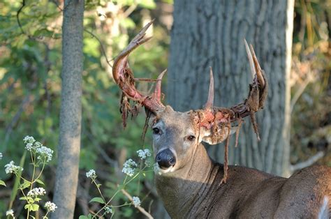 Whitetail Deer Shedding Velvet 10 awesome photos of deer shedding their velvet pics