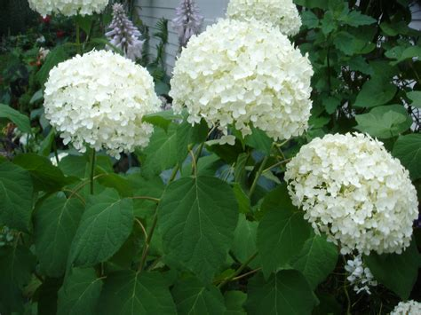 hydrangeas for shade best hydrangea for shade 28 images garden muses not another toronto gardening blog a shade