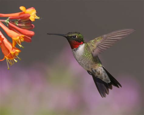 hummingbirds migrating earlier in spring study says fox