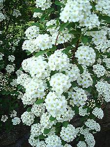 Flowers And Nature In My Garden  Spirea Japonica  U0026quot Bridal Veil U0026quot
