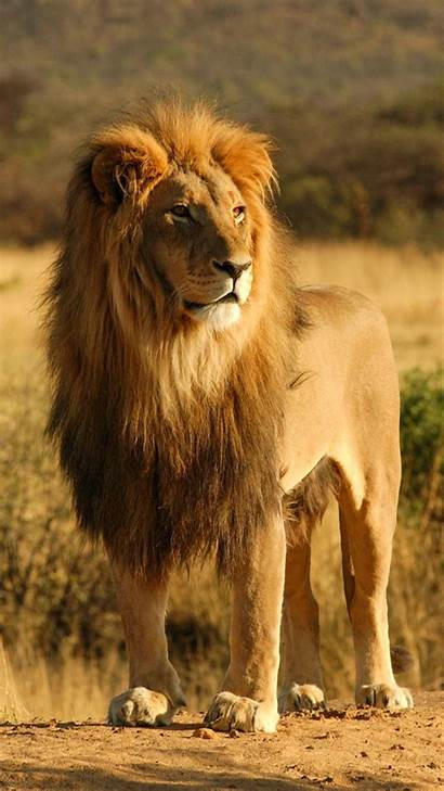 Lion Iphone Wallpapers Pride King Male African