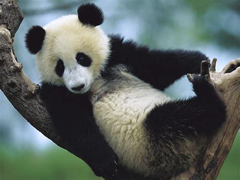 Endangered Species, Giant Pandas