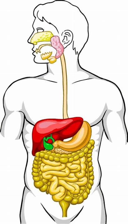 Intestine Diagram Digestive System Clipart Human Parts