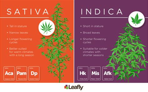 Which Produces More Cbd Or Thc?