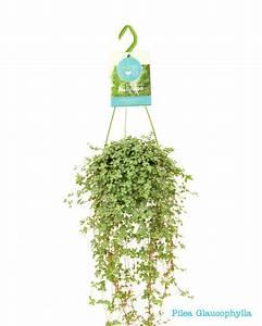 Pilea Pflanze Kaufen : sortiment gr nen h ngepflanzen ~ Michelbontemps.com Haus und Dekorationen