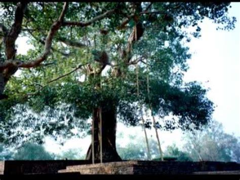 where can i buy a bodhi tree ananda bodhi tree youtube
